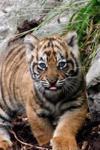 Tiger Cub at Dublin Zoo