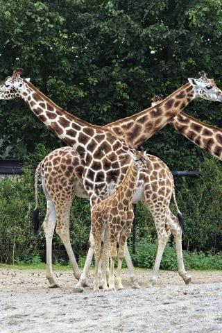 Giraffes in Dublin Zoo