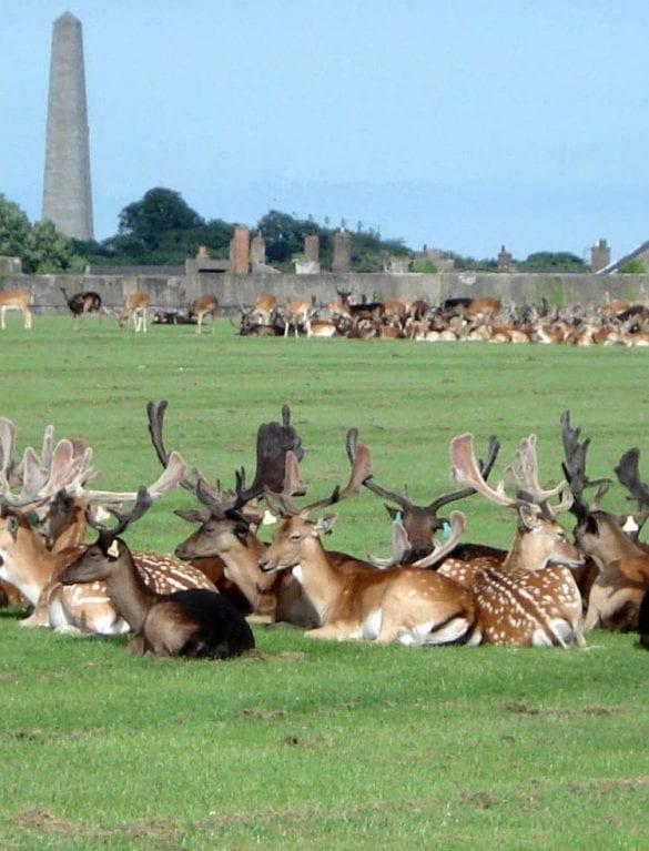 Herd of deers in Phoenix Park Dublin